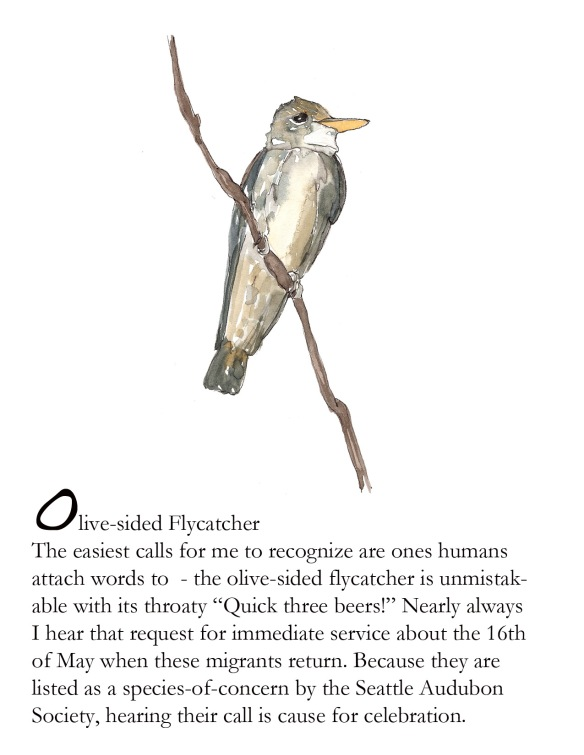 Bird FBOlive sided flycatcher