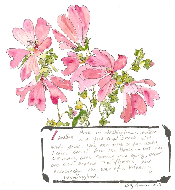 garden notes lavatera