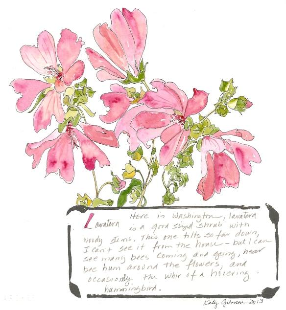 garden notes lavatera