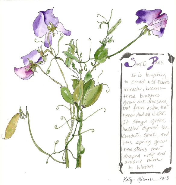 garden notes sweet peas 2